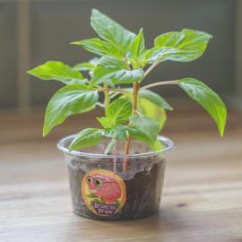Ekologiczna roślina Mózg Brian